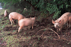 Pigs Rooting at Roadside