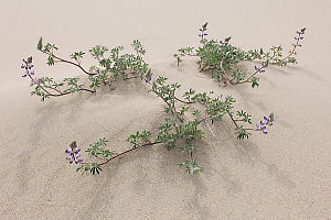 Lupin Growing In Sand