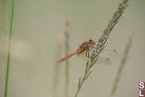 Red-veined Meadowhawkff On Grass