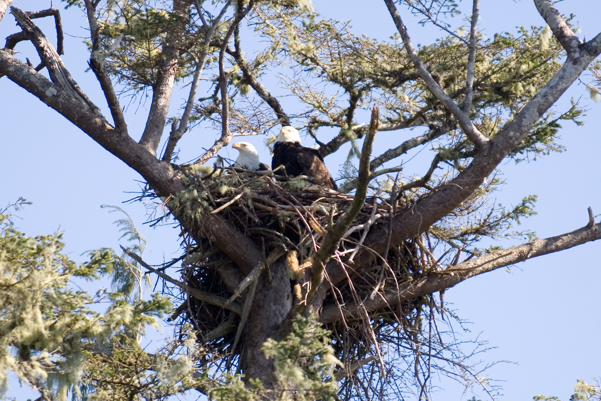 Pair Of Eagles In Nest