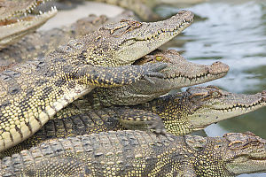 Stack Of Crocodiles