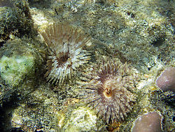 Feather Type Tube Worms