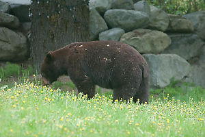 Bear In ALawn Of Dandelions