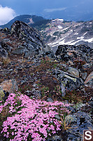 Moss Campion And Top Of Gondolas