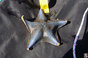 Blue Bat Star