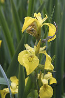 Yellow Iris Hosting Morning Glory