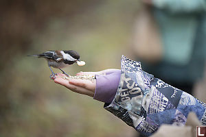Hand Feeding Chickadee