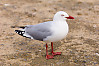 Red Billed Gull Standing