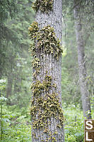 Tree Lungwort Growing On Cottonwood